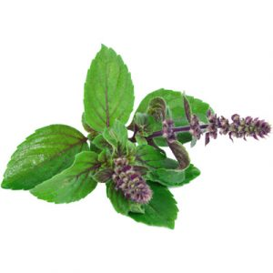 Holy Basil Seeds for Planting